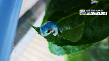 """静岡で「水色のカエル」発見…専門家に聞くと""""緑色""""に戻ることもあるらしい"""