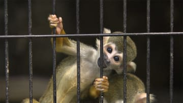 動物園にリスザル赤ちゃん きょうも生まれた! 大人気 画像