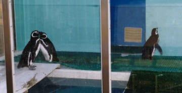「歩く姿がかわいい」と人気だったというマゼランペンギンのミドリとアカ、クロ(同館提供)