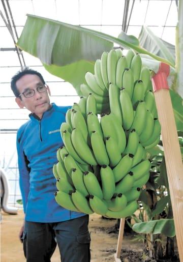 初収穫された株になった101本のバナナ。福島県広野町振興公社の職員が栽培に当たっている