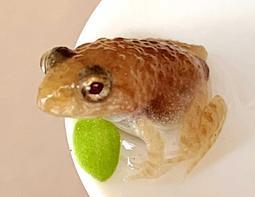 体長1.5センチほどに成長した「黄金のカエル」=姫路市