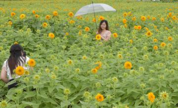 あけのひまわりフェスティバル会場で、八重ヒマワリ畑で写真を撮る来訪者=筑西市宮山