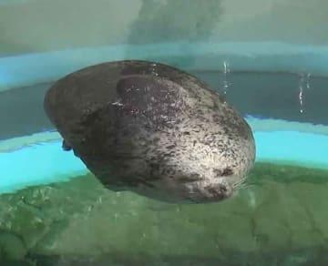 水中に浮遊したまま昼寝するアザラシのハマちゃん。軽石や玉こんにゃくに見えると話題だ(京都水族館提供)