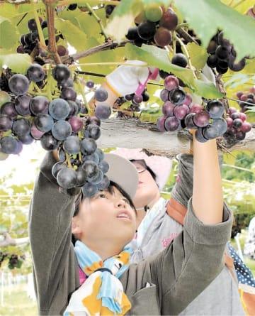 ブドウ狩りを楽しむ児童