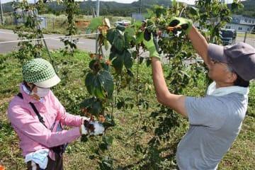 ホップの花を収穫する参加者
