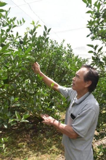 例年の半分ほどしか実が付かなかった平兵衛酢の木を見つめる黒木和之さん