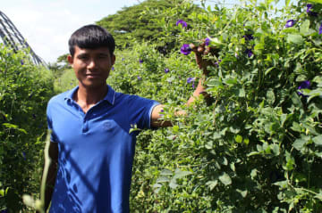 Tounjai, a Lao farmer in his 20s in a village in Champasak Province on the southern tip of Laos bordering Cambodia and Thailand, cultivates butterfly peas for supply to Tsujiko Co., a Japanese firm producing colored food pigment powder to make blue c