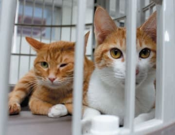 おおいた動物愛護センターに持ち込まれ、新しい飼い主を待つ猫=大分市