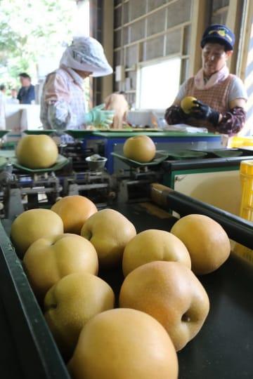 大ぶりの「いさはや梨」豊水を仕分けする女性たち=諫早市本野町、JAながさき県央選果場