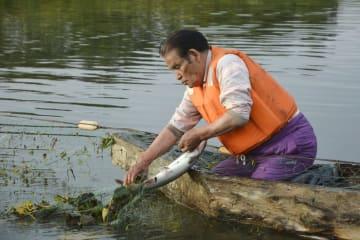網に掛かったサケを回収するアイヌ民族の畠山敏さん=1日午前、北海道紋別市