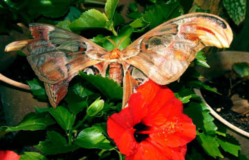 西表島の民家で見つかった県の天然記念物で日本最大の蛾「ヨナグニサン」