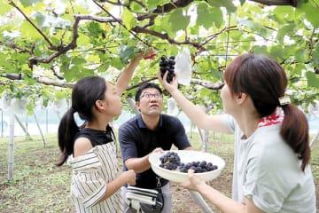 旬の「あま~い」巨峰を収穫体験する参加者たち=伊奈町小室の塩崎農園