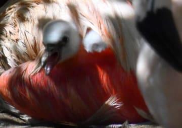 親鳥の羽の中から愛らしい顔を出すフラミンゴのひな=3日午後、宮崎市フェニックス自然動物園