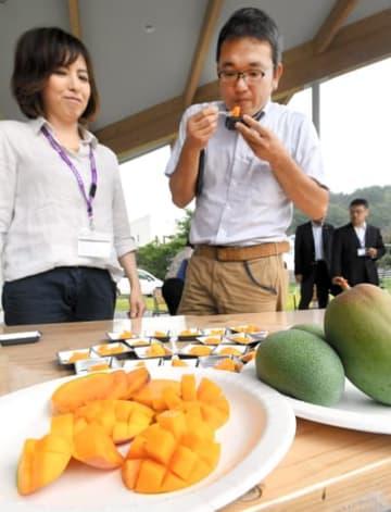 初収穫したマンゴーを味わう加藤准教授(右)