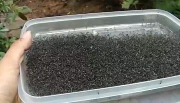「蚊で蚊を駆除する」新技術、感染症研究で注目集める