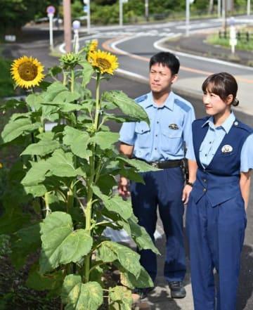 白浜署員が育てたヒマワリの花(和歌山県白浜町で)