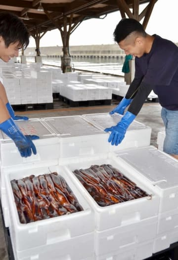 9月に入っても好漁が続く福井県越前町のスルメイカ=9月2日、同町の越前漁港