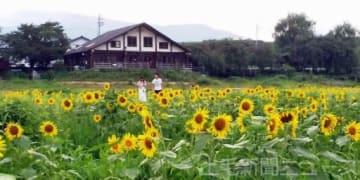 水位が下げられた丹生湖の湖底に咲いた満開のヒマワリ=8月下旬