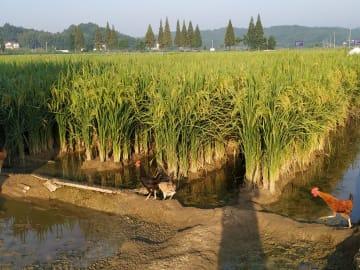 水田を使った飼育・養殖が中国農業のトレンドに