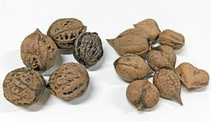 会津特産のオニクルミ(左)とヒメクルミ