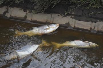 大量に死んでいるのが見つかった大型の魚=11日午後4時35分ごろ、龍ケ崎市の破竹川