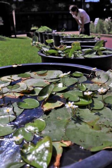 国内外のさまざまな水草が並ぶ会場(京都市左京区・府立植物園)