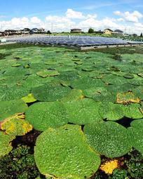 水面を覆うように大きな葉を広げるオニバス=稲美町加古、六軒屋池