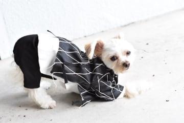 チワワとマルチーズのMIX犬「わふりぃむ」くん(写真提供:日本ペットモデル協会)