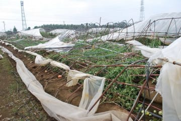 台風の影響でビニールハウスが全壊したトマト農家=11日、八街市