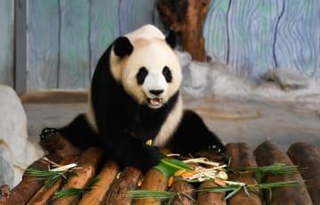 中秋節を祝いパンダに「月餅」をプレゼント 海南省海口市