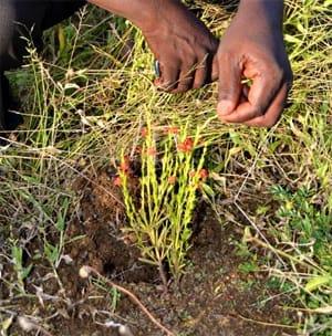 ケニアに生息するストライガ(Striga asiatica)。(画像:理化学研究所発表資料より)
