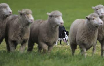 200匹が頂点目指す 全米牧羊犬競技会決勝大会、コロラド州で開催