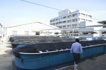県栽培漁業協会が水槽で飼育するアワビは停電による被害を受けた=三浦市三崎町城ケ島