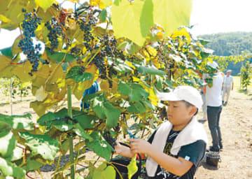 ヤマブドウの収穫に取り組む児童たち