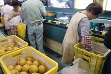 県オリジナルのナシ「新美月」の初出荷作業=16日、新潟市江南区