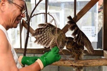 フクロウにエサを与える九州鳥獣保護協会の杉田猛理事長=9日、御船町の県鳥獣保護センター