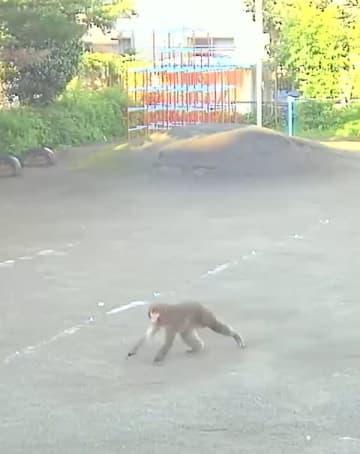 戸田市の上戸田南保育園の園庭で振り返るサル=17日午前7時8分ごろ(戸田市提供)