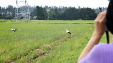 鶉地区で度々見られるコウノトリの親子=9月11日、福井県福井市内