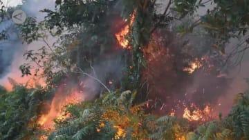 すみかを失い生存の危機に直面するインドネシアのオランウータン
