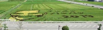 九州新幹線新玉名駅北側の水田で見頃を迎えた田んぼアート=玉名市
