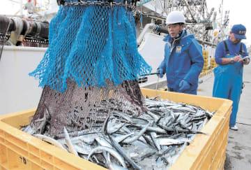 水揚げされたサンマ。漁獲量は少なく、サイズも小さい=19日、大船渡市魚市場
