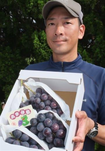 「あま伊都」出荷本格化 糸島産新種ブドウ 伊都菜彩で限定販売