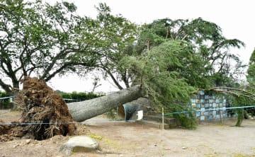 強い南風によって根元から倒れた校庭の木=9月23日午後0時40分ごろ、福井県福井市東郷小学校