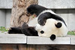 ほんまにシャイなん?脚を広げて寝転ぶタンタン(王子動物園提供)