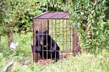 果樹畑に設置した箱わなにかかったクマ。県内での目撃情報や食害が相次いでいる=23日、鶴岡市東岩本
