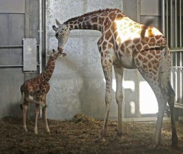 死んだアミメキリンの赤ちゃん「永友(エイト)」(左)=2018年10月、北海道旭川市の旭山動物園