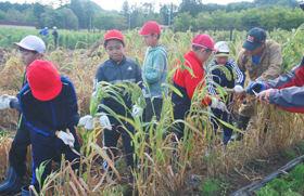 カマでイナキビを刈り取る子どもたち
