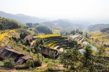 黄金色に輝く紫鵲界棚田 湖南省新化県