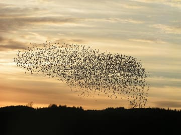 Flock of birds. Photo by Christoffer A Rasmussen, via Wikimedia. Licensed to public domain.