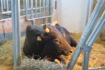 県畜産試験場の牛舎で静かに横たわる茂洋=2月